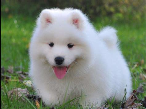samoyed puppies ohio jan warner breeders chardon oh