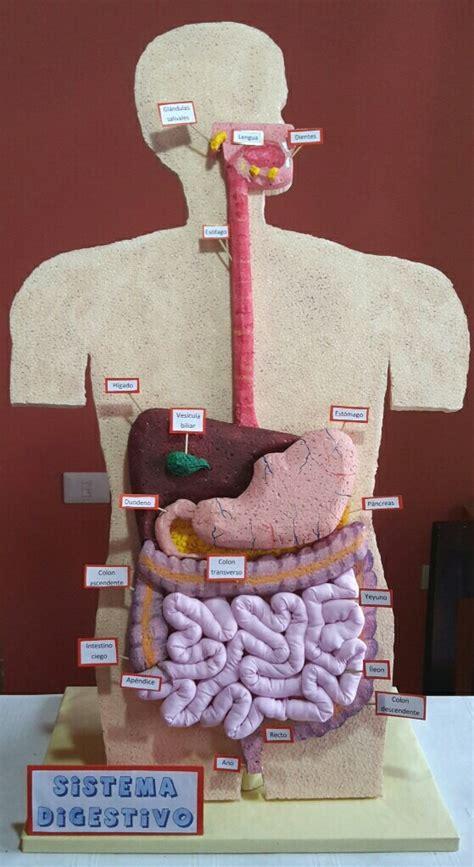 m 225 s de 25 maqueta del estomago maqueta escolar sistema digestivo