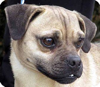 pugs in maryland germantown md pug mix meet pugsley a for adoption