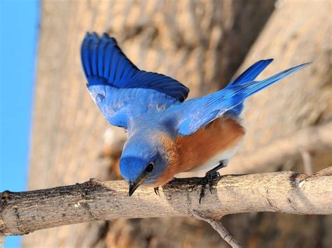 wallpaper blue birds funny image collection tropical blue bird desktop wallpaper
