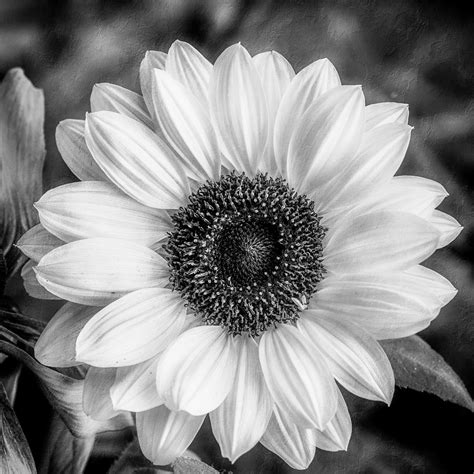 black and white black and white sunflower photograph by miller