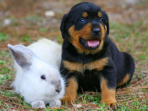 blue eyed rottweiler freepetcare some rottweilers been known to blue or one blue and one