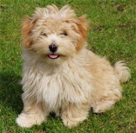 apricot havanese puppies the world s catalog of ideas