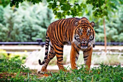 harimau gambar gambar gratis di pixabay