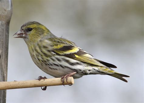 another bird blog siskin summmary