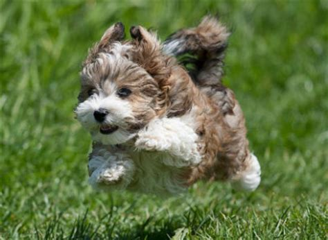 havanese tricks the havanese a cuban velcro