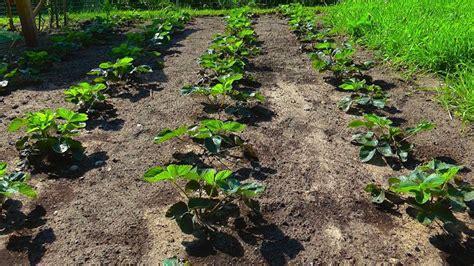 wie pflanze ich erdbeeren 4145 erdbeere pflegehinweise g 228 rtnertipps und weitere