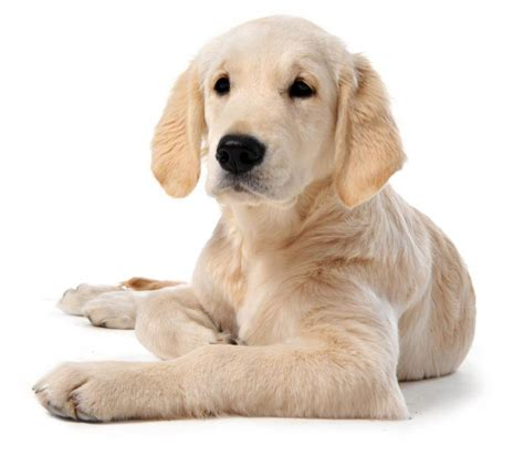 Pet Shedding by Dogs That Make The Best Family Pets Hubpages