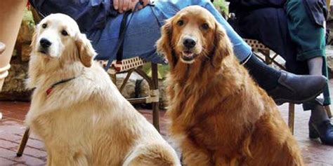 best golden retriever names the best golden retriever names 49 names for your golden