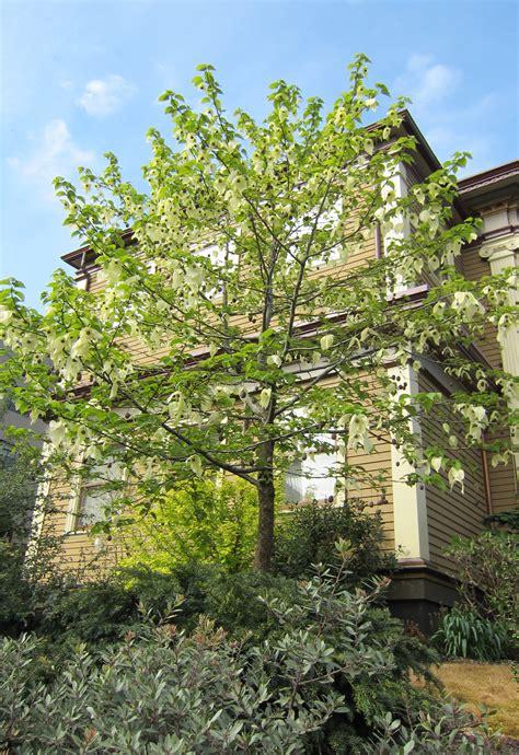 tree doves dove tree portland tree tour