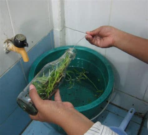 Jual Bibit Anggrek Botol cara menanam anggrek botol tips merawatnya bibitbunga