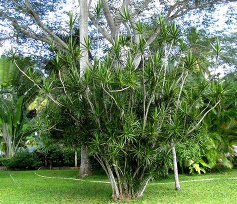 madagascar dragon tree dracaena marginata and 33 similar image gallery marginata tree