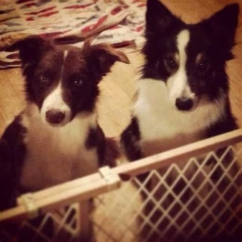 border collie puppies for sale indiana border collie puppies and dogs for sale and adoption in freedoglistings