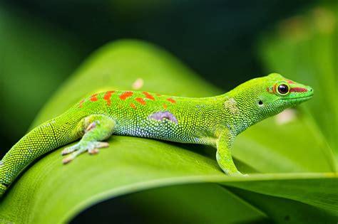 top   incredible lizard wallpapers  hd