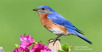 eastern bluebird new york sialia sialis ny state bird