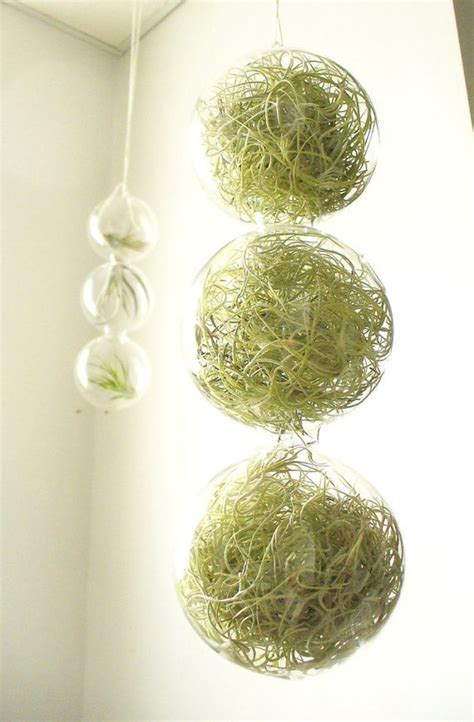 glass globes filled with fascinating air plants