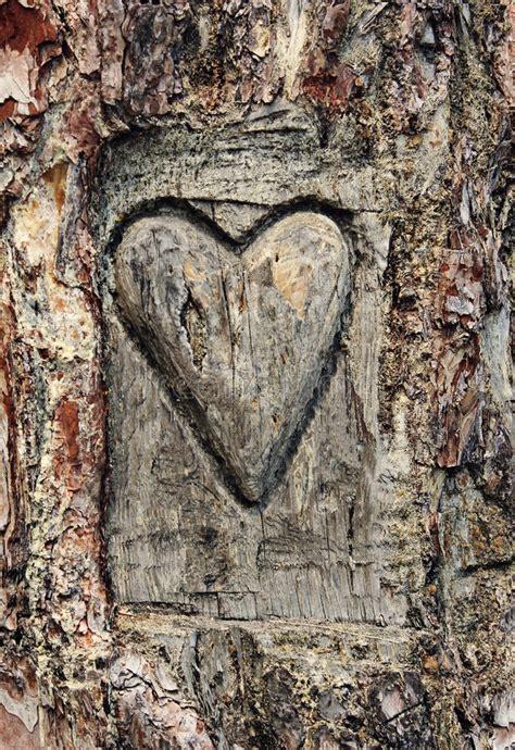 heart carved   bark   tree stock image image