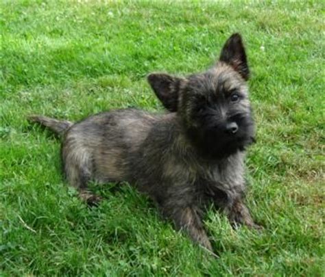 brindle cairn haircut 47 best puppies images on pinterest