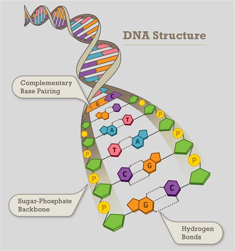 what sections of dna are used in dna fingerprinting nucleotides in dna strand images
