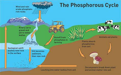 phosphorus cycle diagram and explanation the phosphorous cycle image courtesy of wwtlearn org