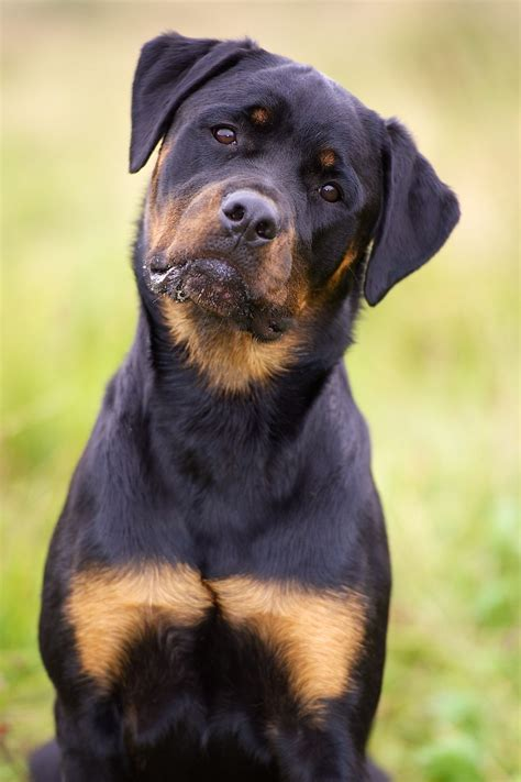 facts about rottweilers rottweiler best guardian interesting facts about rottweilers rotties rule