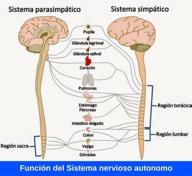 cadenas voluntarias definicion funci 243 n del sistema nervioso aut 243 nomo 191 c 243 mo funciona