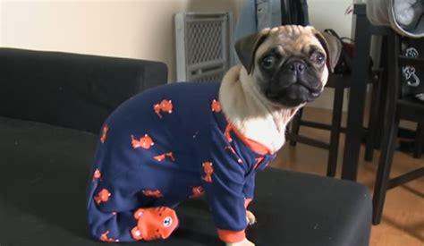 pug in pajamas pug in pajamas bumbles and tumbles adorably