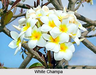 white champa indian medicinal plant