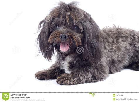 perro havanese perro de havanese que se coloca en un fondo blanco imagenes de archivo imagen 10729534