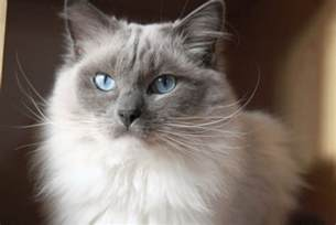 cat color and personality ragdoll cat personality characteristics and pictures
