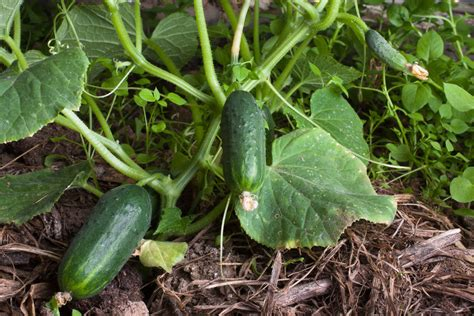 When To Cucumbers From Garden by How To Plant Cucumber Seeds Ebay