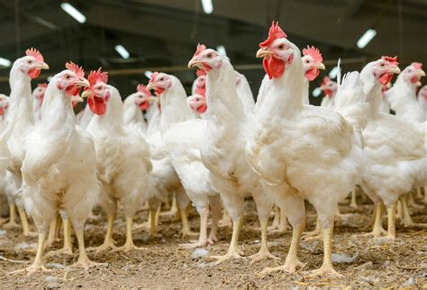 how chicken tractors can increase egg production and get uk poultry health and welfare group the british poultry