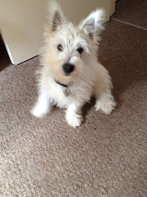 westie puppy for sale 18 week westie puppy for sale banbury oxfordshire pets4homes