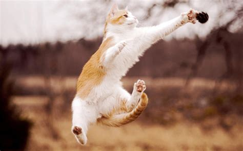 How To Stop A Cat From Jumping On Furniture by Cats Jumping Blurred Background Wallpapers And Images