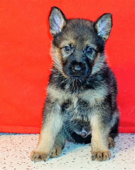 trained german shepherd puppies for sale legend german shepherd puppy we raised and trained