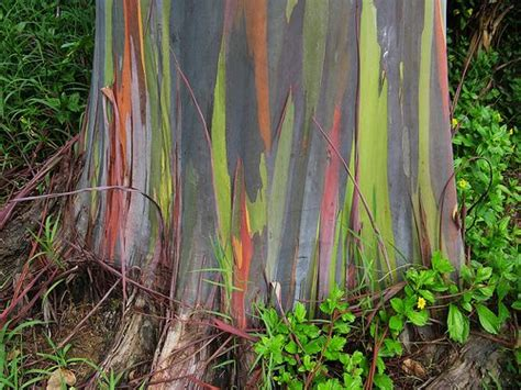 australian rainbow eucalyptus tree trees around the