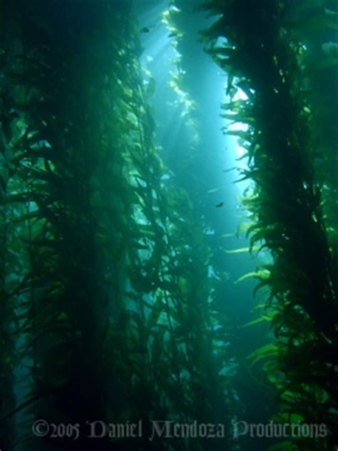 1000 Images About Kelp On Pinterest