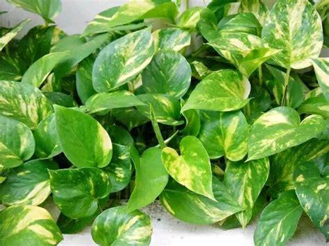 Harga Bibit Sirih Gading tanaman hias sirih gading spec dan daftar harga terbaru