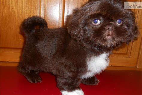 shih tzu puppies chicago shih tzu puppy for sale near chicago illinois fede572a aca1