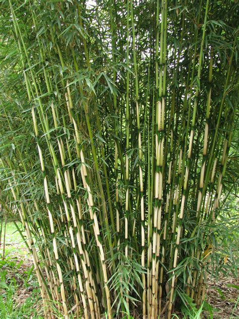 fargesia robusta clumping bamboo fargesia robusta cbell