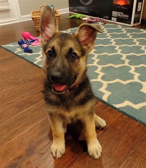 german shepherd puppy toys german shepherd puppy after with toys justviral net