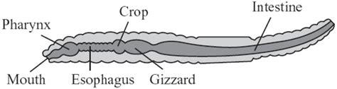 earthworm digestive parts invertebrates grade 11 biology basics