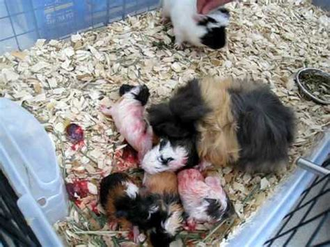 guinea pig giving birth to five babies 3/4 youtube