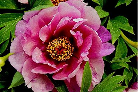 yankee doodle dandy flowers 17 best images about peonies on franklin