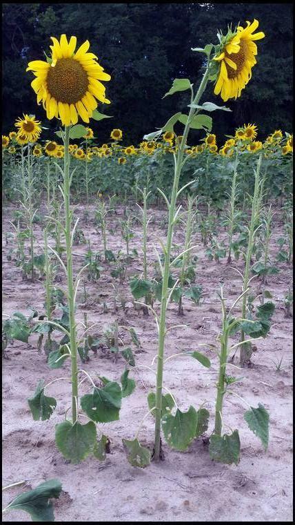 black sunflower seeds for deer sunflowers