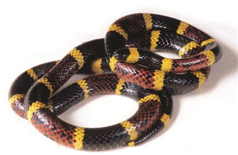 color pattern of coral snake coral snakes colors bites farts facts
