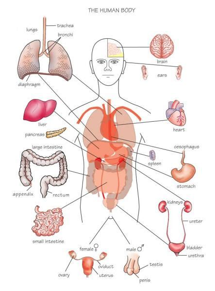 diagram of human organs in the diagram of organs tutorvista