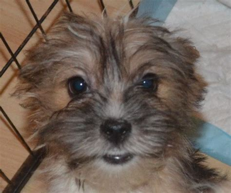 shih tzu x yorkie for sale shih tzu x terrier puppies for sale portsmouth hshire pets4homes