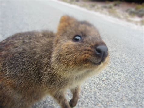 D Animaux by The Adorable Quokka Cuteness Overflow