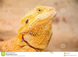 bearded dragon stock photo image 42913292